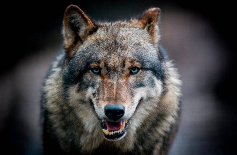 Vede arrivare il lupo …
